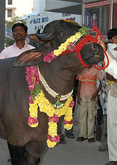 Festival for the buffalo- garlands of flowers & shells & tilak