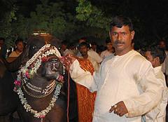 Majestic buffalo- pride of a Yadav